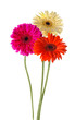 colorful gerbera