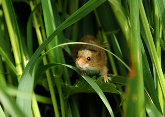 Harvest Mouse, Micromys minutus