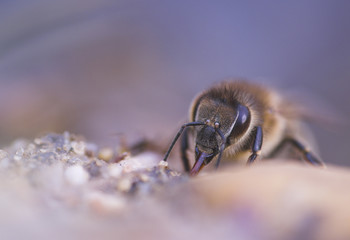 Honigbiene - honey bee (Apis mellifera)