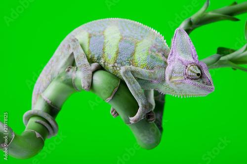 Fotobehang Kameleon Green chameleon