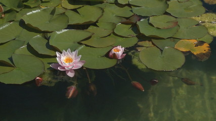 Waterlily buds in calm water