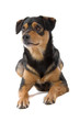 cute mixed breed dog lisolated on a white backgroun