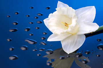 white narcissus on blue background with water drops