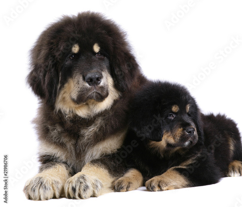 Two underlying puppy on a white background.