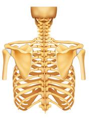 Esqueleto espalda