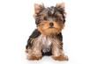Yorkshire terrier puppy on white background