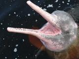 Amazonasdelfin (Inia geoffrensis) im Rio Negro - Brasilien