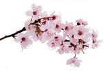 Kirschblüte - 22000781