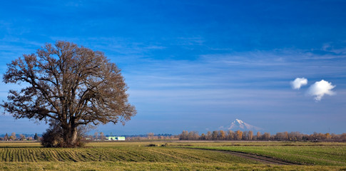 Farm field with single tree and Mt.Hood on horizon