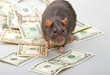 Funny rat accountant standing over dollars