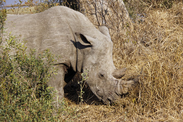 Rhino in wild - front and side