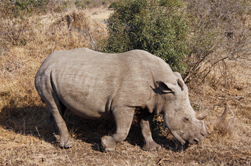 Rhino grazing in wild