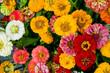Zinnien, Zinnia elegans, bunte Sommerblumen