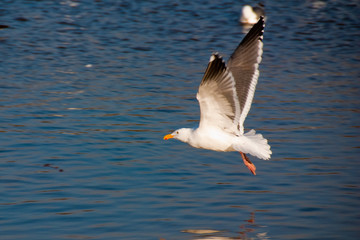 Sea gull, about to land