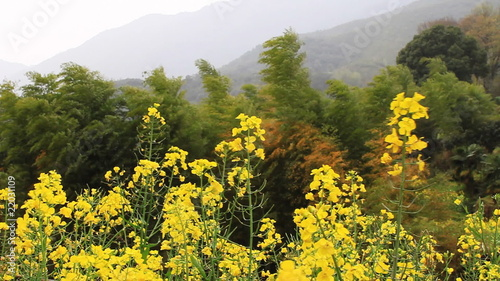 rape flower and bamboo in wind
