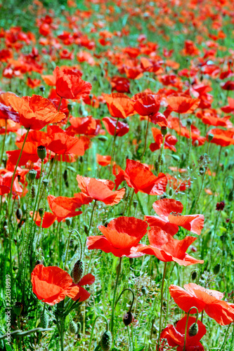 A field of wild red poppies