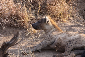 Hyena waking up