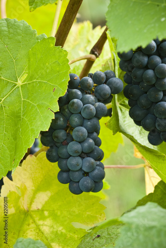 Pinot noir bunch of grapes closeup