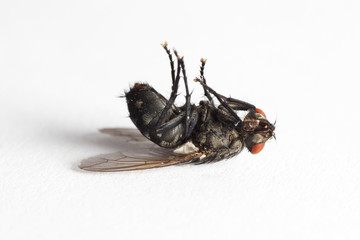 Dead House fly (Muscidae Domestica)