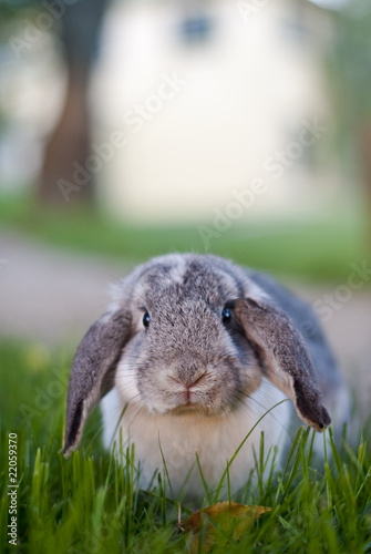 Mr Wuffles, the floppy eared rabbit sitting in long grass