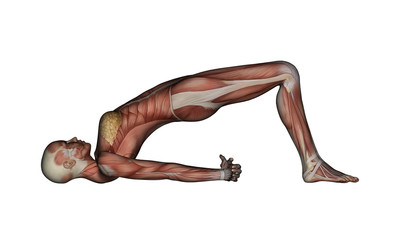 Yoga - Bridge Pose. Female Muscles