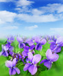 violets and blue sky