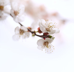 Flowers an apricot