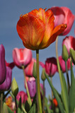 Orange Single Tulip with Blue Sky
