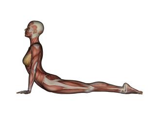 Yoga - Cobra Pose. Female Muscles