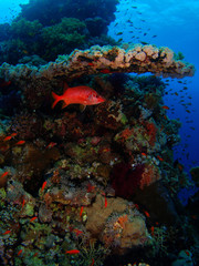 Coral colony and red fish