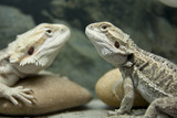 Two Bearded Dragon reptile poster