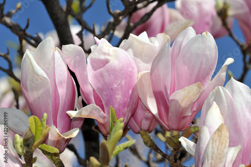 Fotobehang Magnolia magnolia tree detail of flowers