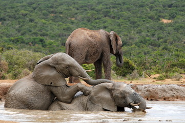 elephants bathing in watering place