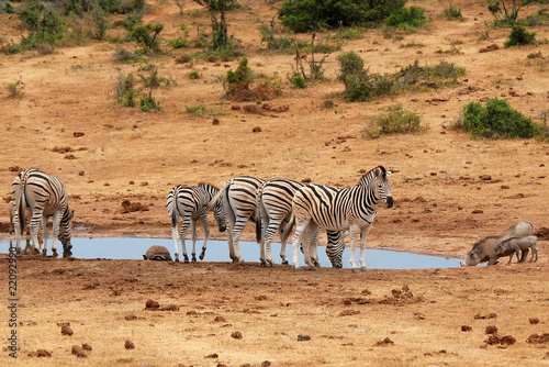 Burchell's zebras at watering place