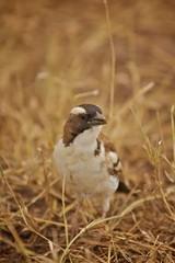 afrikanischer Vogel Afrika Kenia