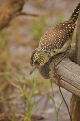 afrikanischer Vogel Futtersuche