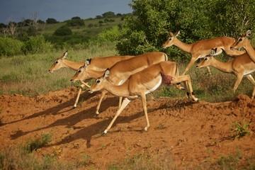 Antilopen Afrika Kenia
