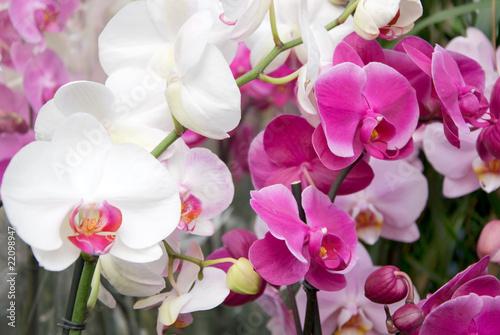 Fototapeten,orchidee,orchidee,rosa,weiß