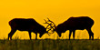 Rutting Deer In The Sunset