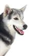 Adorable siberian dog