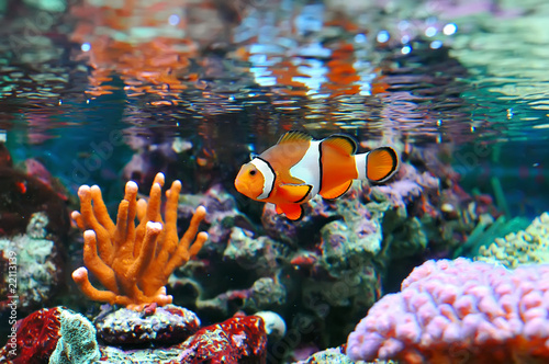 canvas print picture Ocellaris clownfish