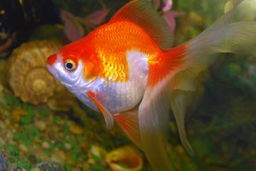 Big goldfish in aquarium.