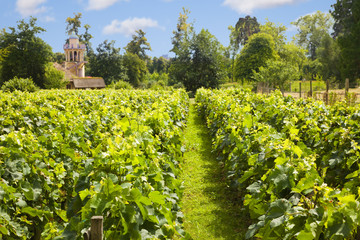 Traditional vineyard in Versailles Chateau, France