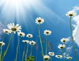 Fototapety White daisies on blue sky background.