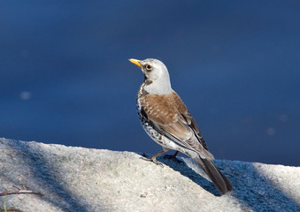 fieldfare on a parapet
