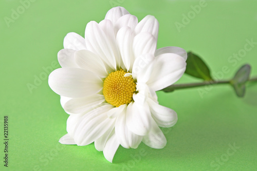 White camomile on green background