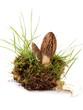 Morchel - morchella esculenta
