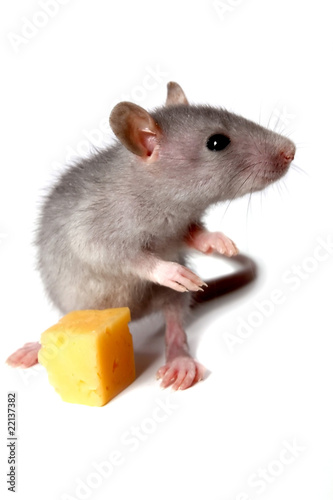 gray mouse and cheese