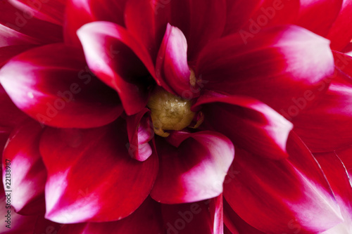 Macro of a Beautiful Red Dahlia Flower