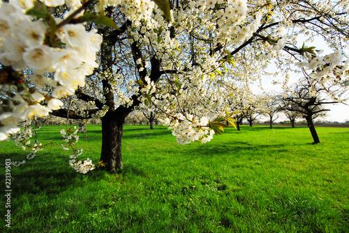 Kirschblüte Plakat
